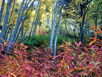 beautiful red leaves in forest