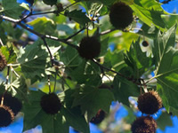 Sycamore Fruit