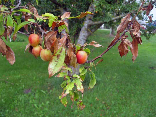 peach tree with fruit disease