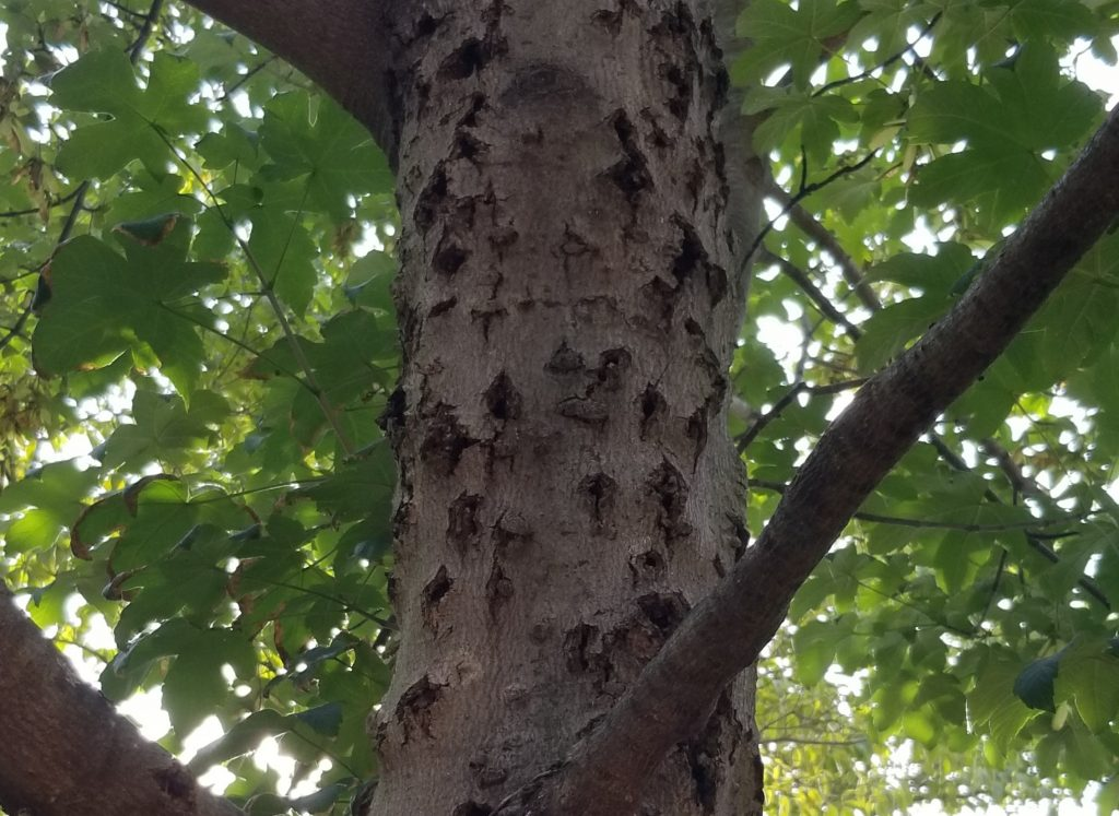 tree with bad stem cankers
